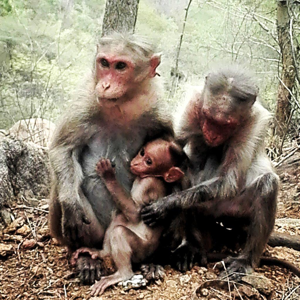 monkeysfamillyarunachala